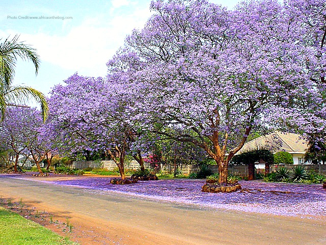 jacaranda-in-bloom-